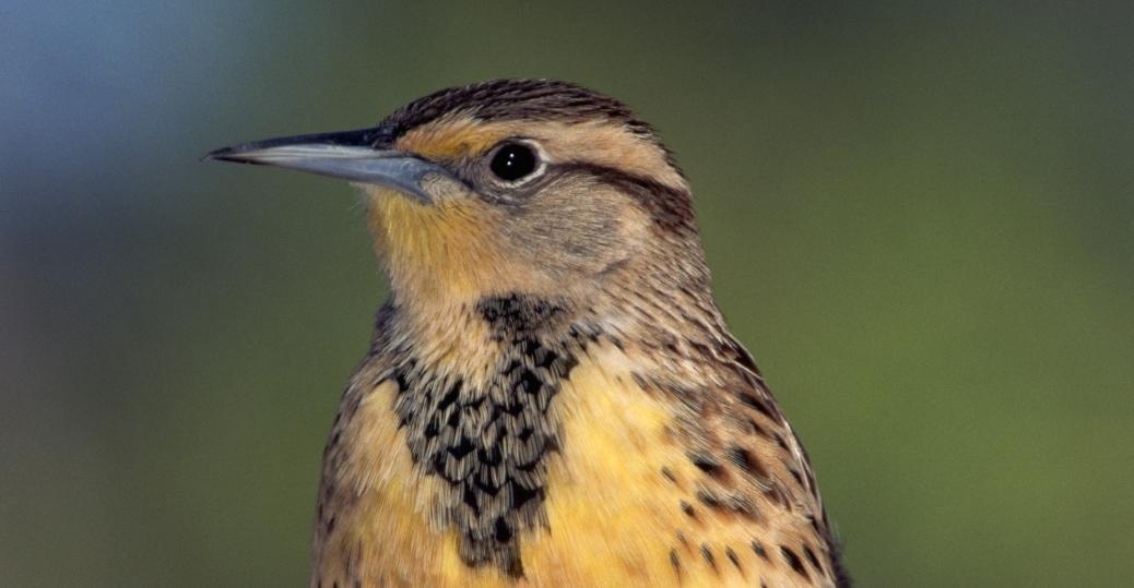 western meadowlark, state bird, kansas