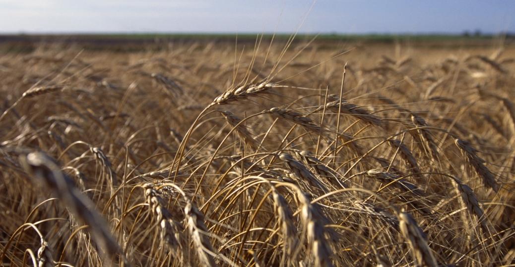 wheat, wheat field, kansas