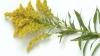 kentucky, state flower, goldenrod, soldiago gigantea