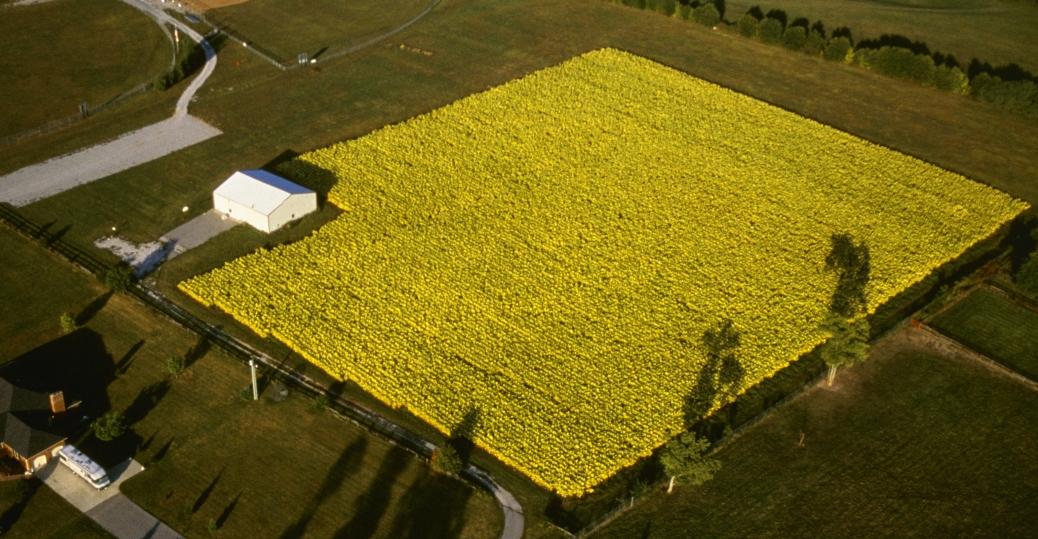 tobacco field, kentucky, burley, central bluegrass