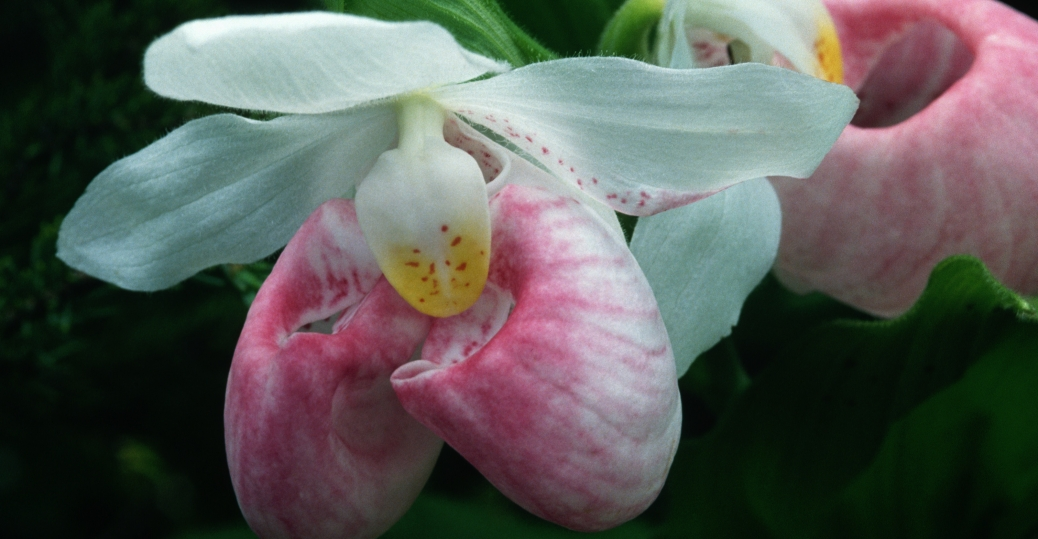 Showy ladys slipper flower with defect minnesota pictures pink and white lady slipper state flower minnesota mightylinksfo