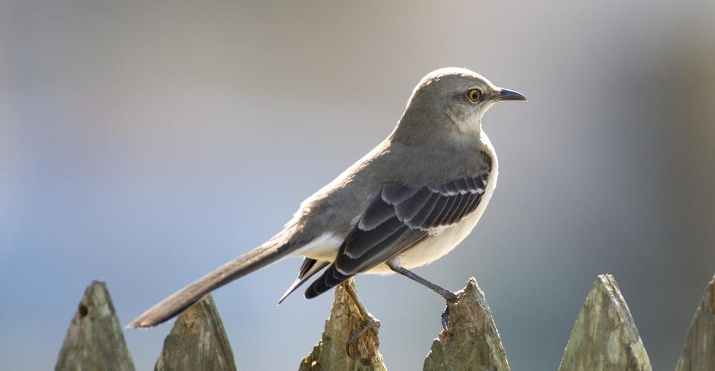 mississippi, state bird, mockingbird