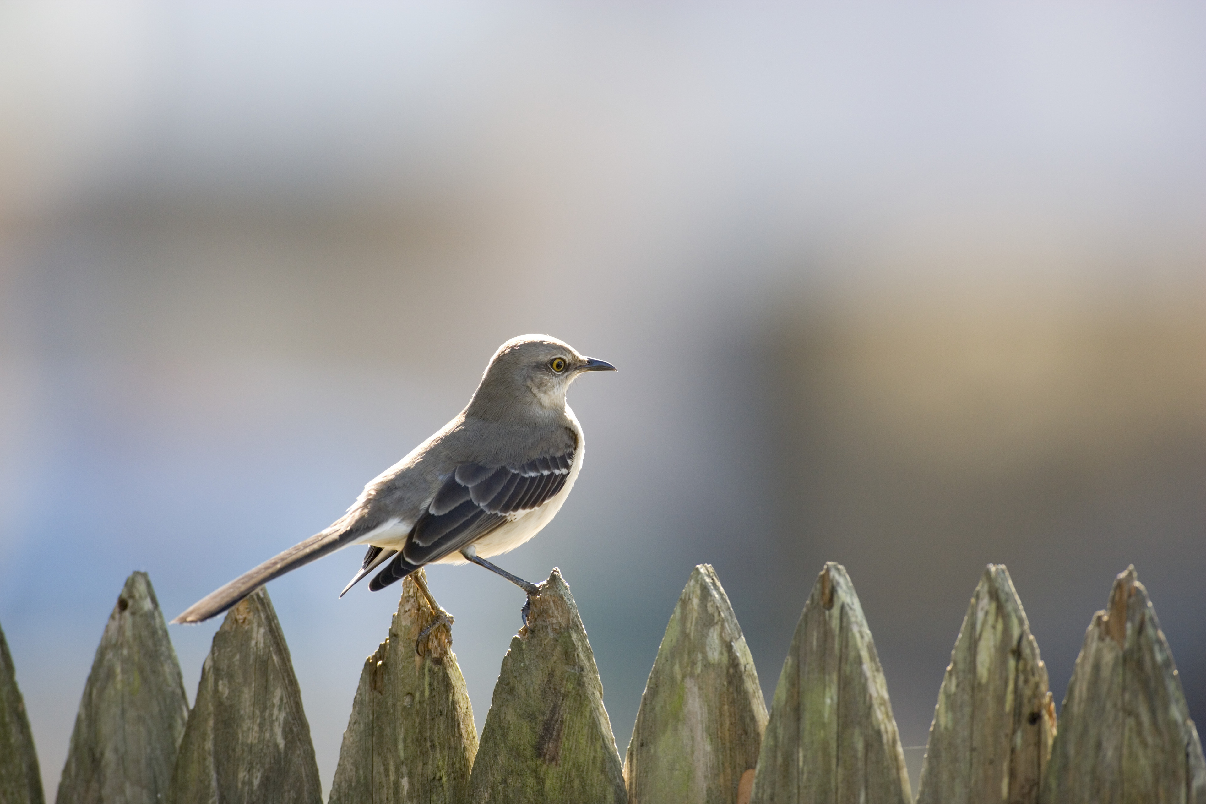 Mississippi State Bird Mockingbird