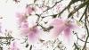 magnolia, mississippi, state tree, state flower
