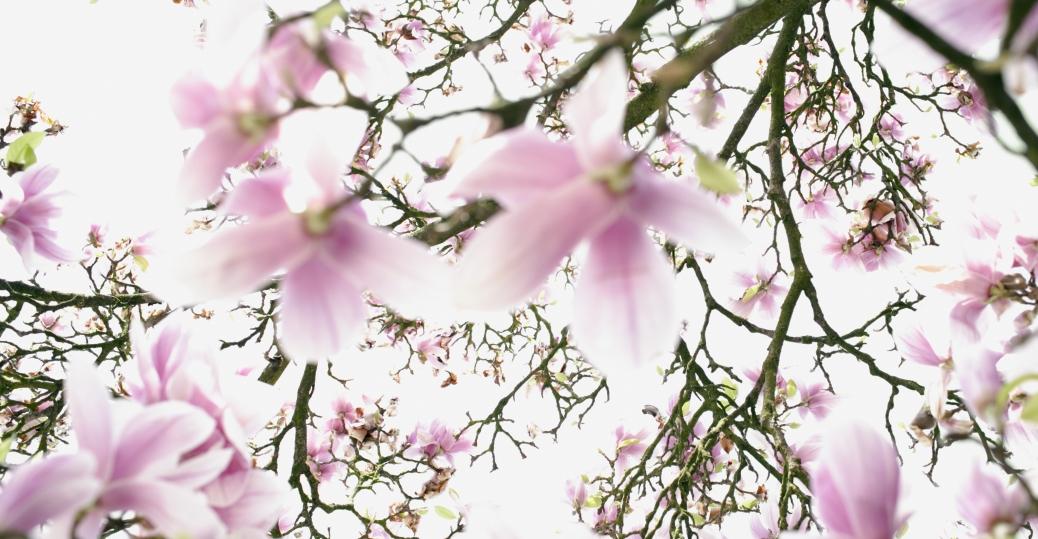Magnolia Mississippi State Tree Flower Bird Mockingbird