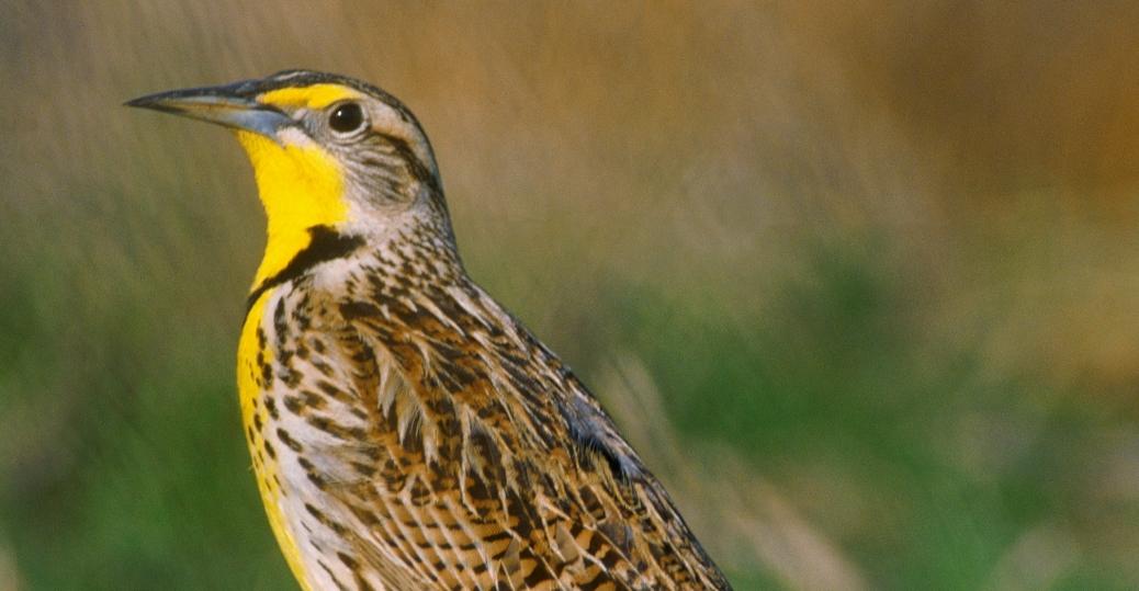 western meadowlark, nebraska, state bird, montana