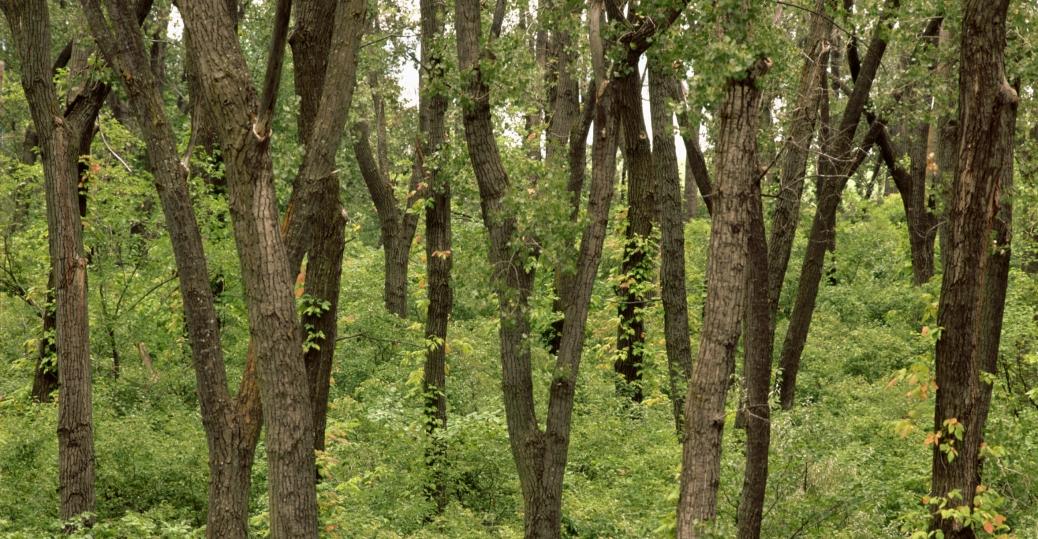 state tree, cottonwood, nebraska