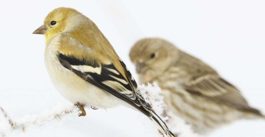 eastern goldfinch, new jersey, state bird