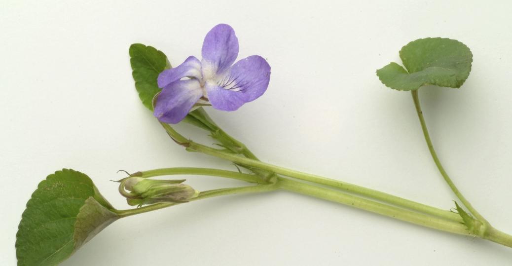 state flower, new jersey, violet