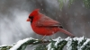 cardinal, north carolina, state bird