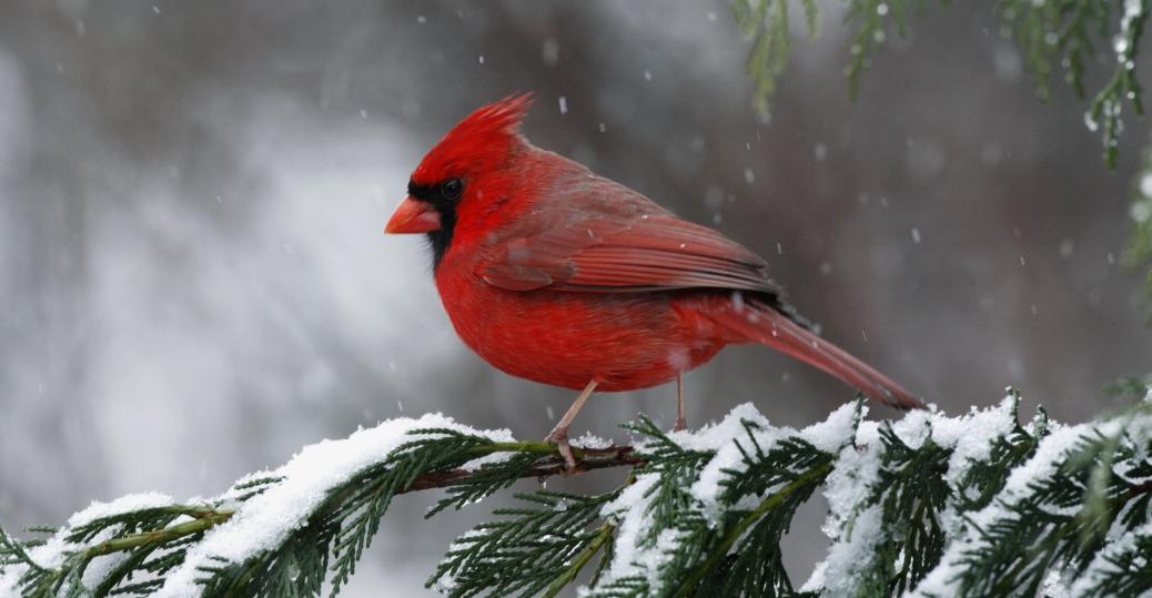 cardinal, north carolina, state bird