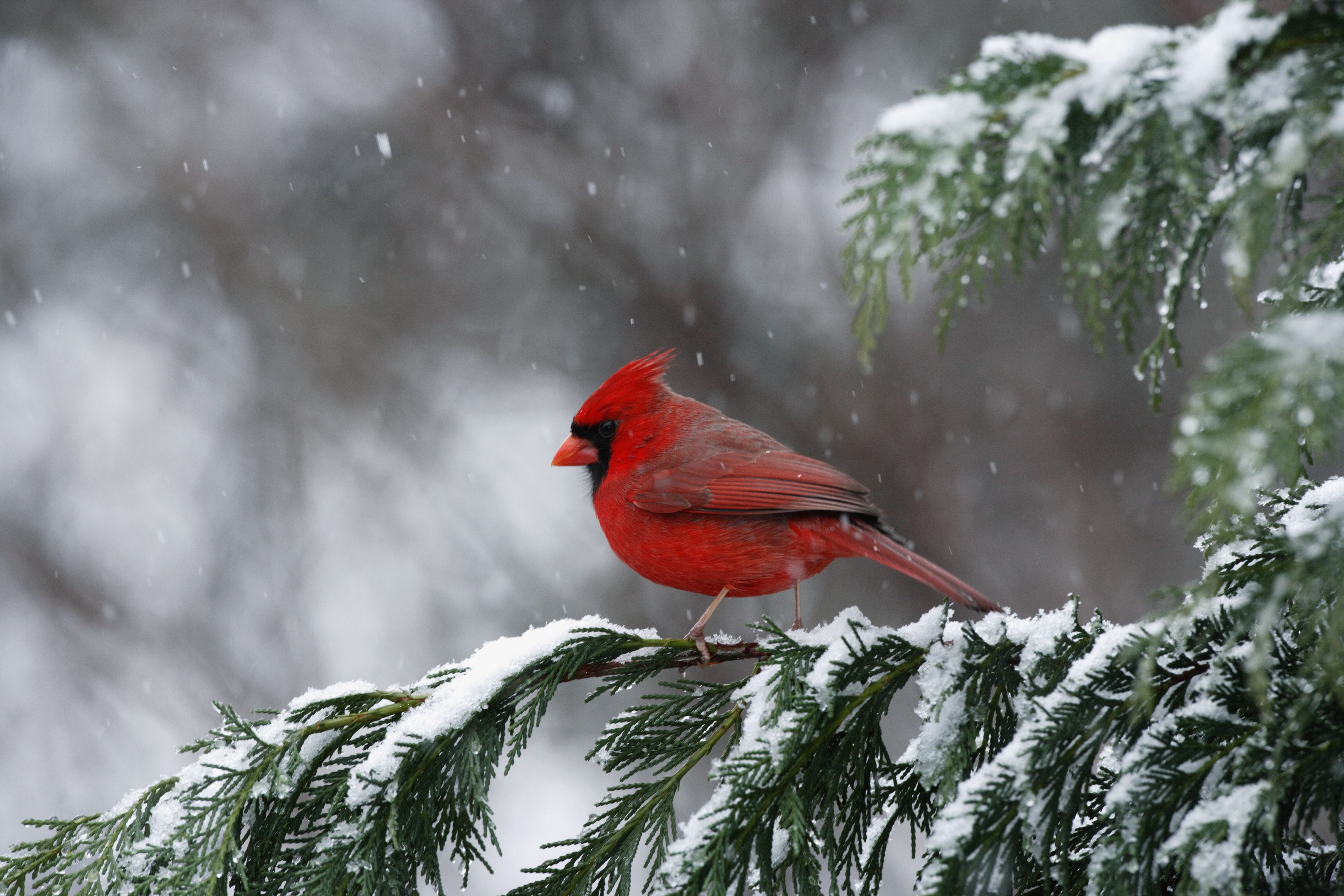 Cardinal State Bird Of North Carolina North Carolina Pictures