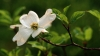 dogwood flower, state flower, north carolina, dogwood, flower