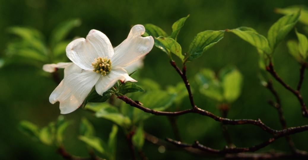 dogwood flower, state flower, north carolina, dogwood, flower