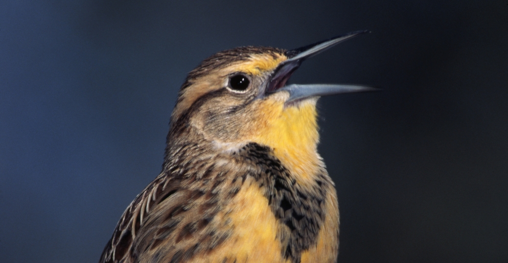 western meadowlark, north dakota, state bird