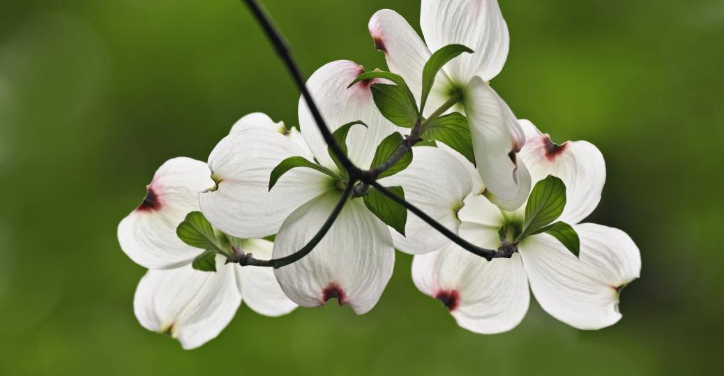 dogwood flowers, cornus florida, state flower, american dogwood, commonwealth, virginia