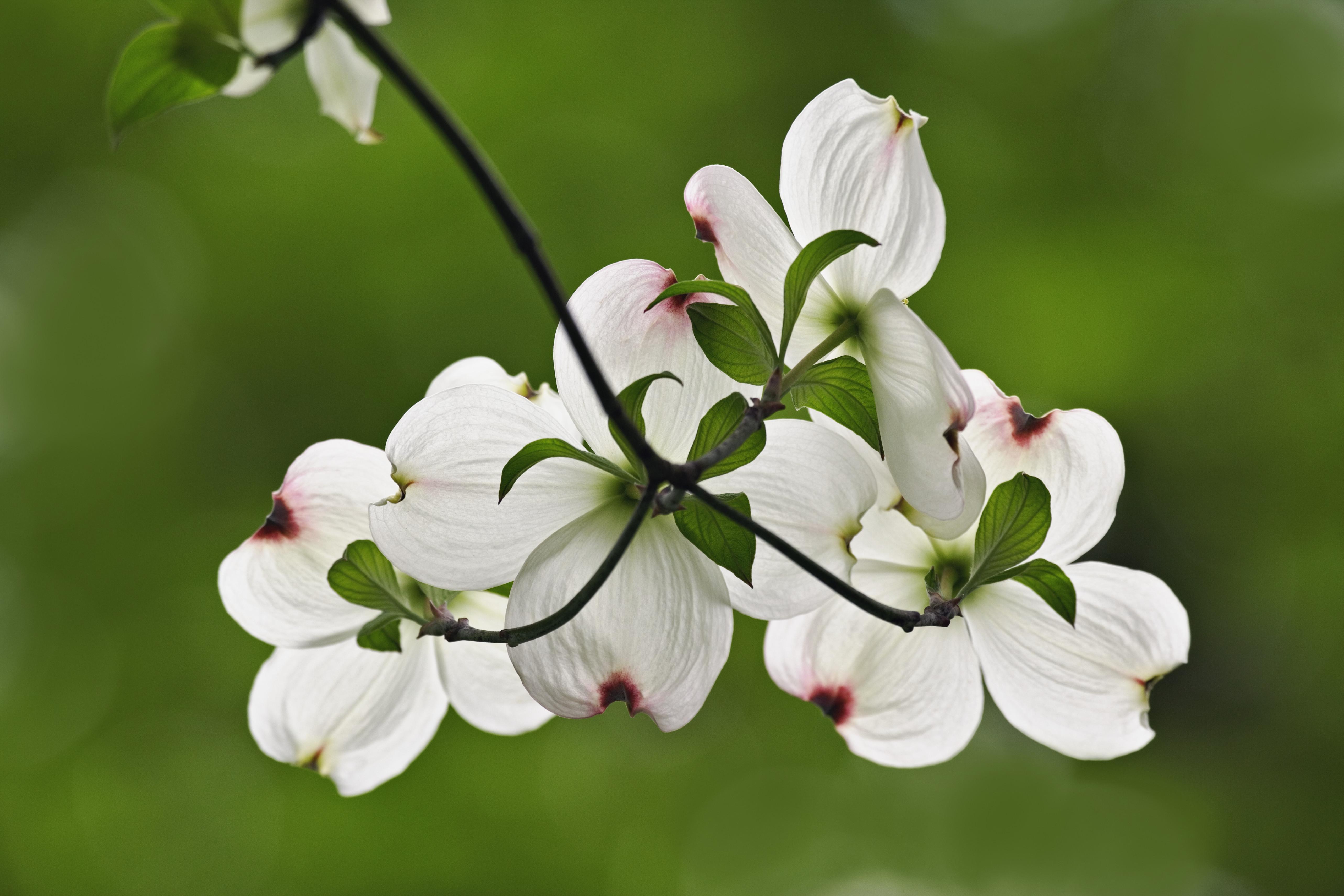 Flowering dogwood blossoms virginia pictures virginia dogwood flowers cornus florida state flower american dogwood commonwealth virginia buycottarizona