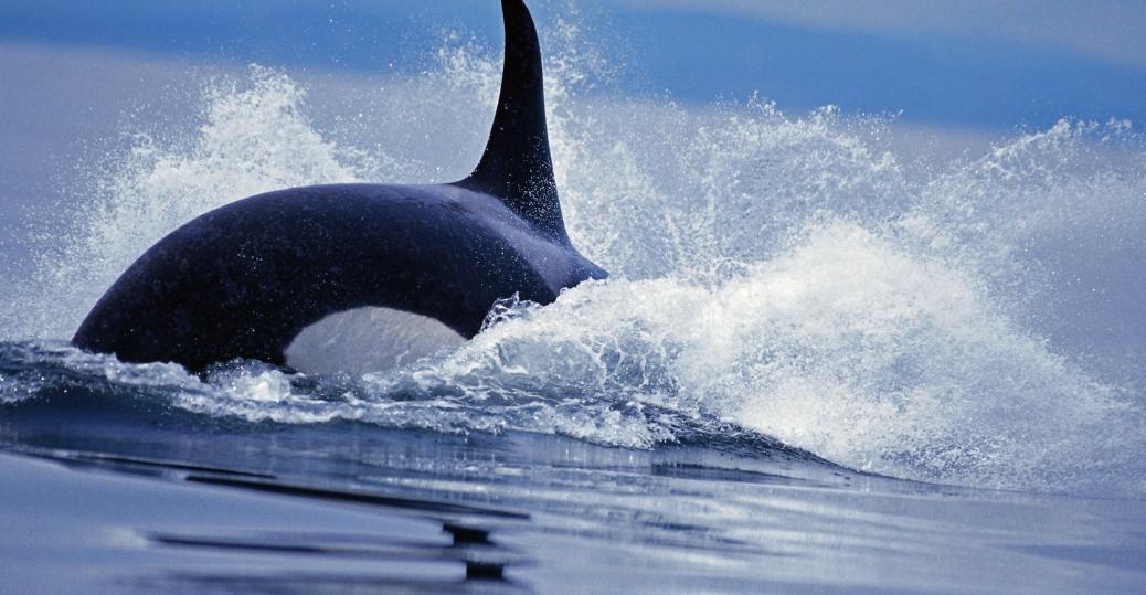 san juan islands, orcas, orca pods, washington