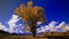 cottonwood, populus sargentii, state tree, wyoming