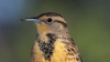 western meadowlark, state bird, sturnella neglecta, wyoming