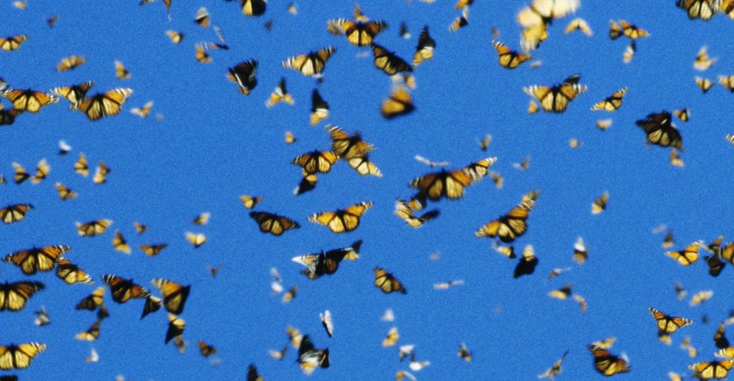 monarch butterflies, butterflies, michoacan, mexico