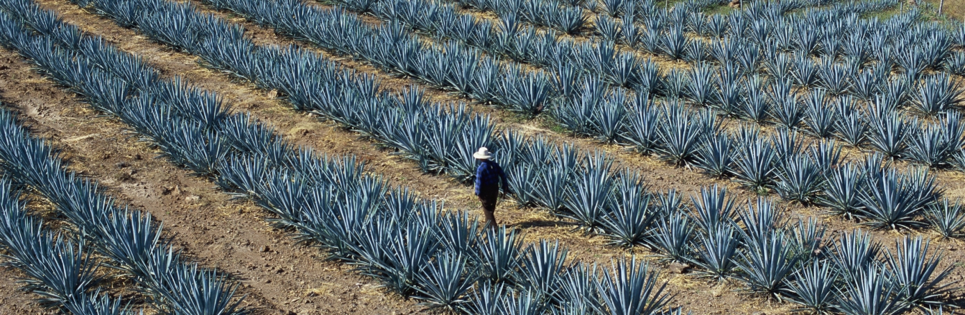 agave fields, tequila, guadalajara, jalisco, mexico