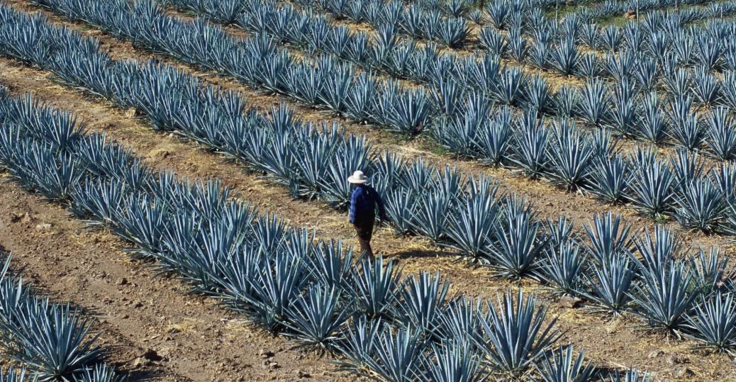 agave fields, tequila, guadalajara, jalisco, mexico