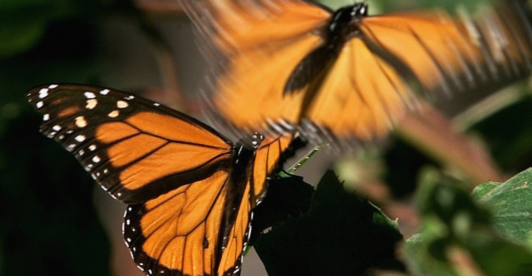 monarch butterflies, sierra chincua, michoacan, mexico, migrating insects reserve, canada, central mexico