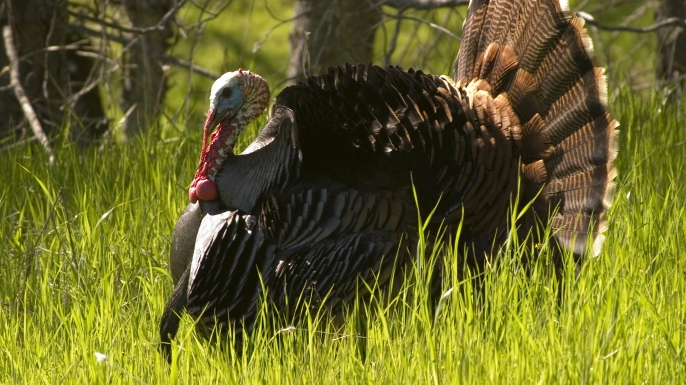 HUNGRY Turkey Talk: The Story Behind Your Thanksgiving Bird