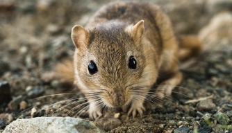 Scientists Blame Gerbils (Not Rats) for the Black Death