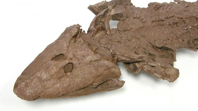 Tiktaalik roseae fossil