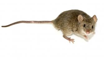Vikings Had Mice, Did Travel