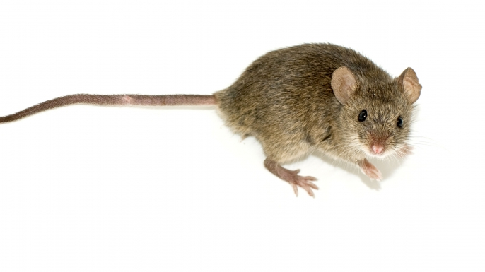 hith vikings mice