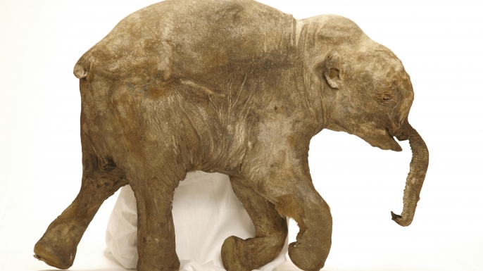A photograph of Lyuba, the newborn woolly mammoth discovered in 2007.