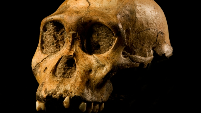 The skull of a juvenile male specimen of Australopithecus sediba.