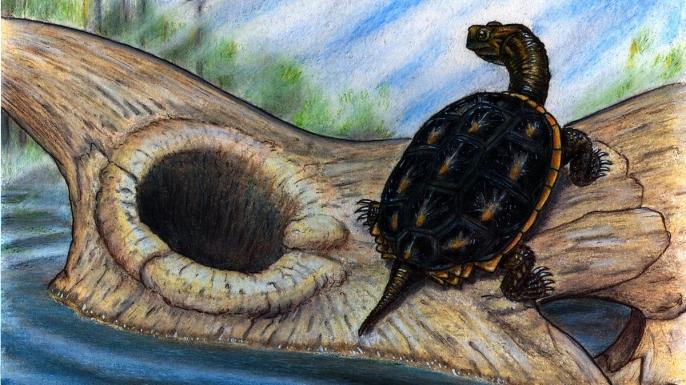 Reconstruction of the baenid turtle Boremys basking on a Triceratops dinosaur skull.
