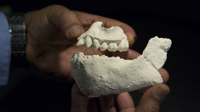 Casts of the jaw of Australopithecus deyiremeda.