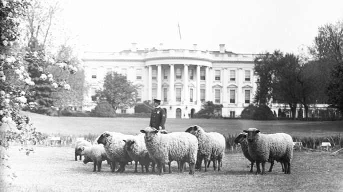 white house sheep