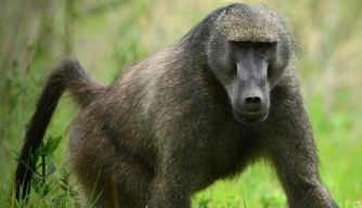 Scientists Decode Secrets of 15-Million-Year-Old Monkey Brain