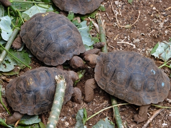 Little tortoises with genes of the Floreana Island giant tortoise species in a breeding center at the Galapagos National Park in Santa Cruz Island. (Credit: RODRIGO BUENDIA/AFP/Getty Images)