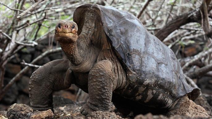 Lonesome George, who was the last giant tortoise on Pinta Island. (Credit: RODRIGO BUENDIA/Getty Images)