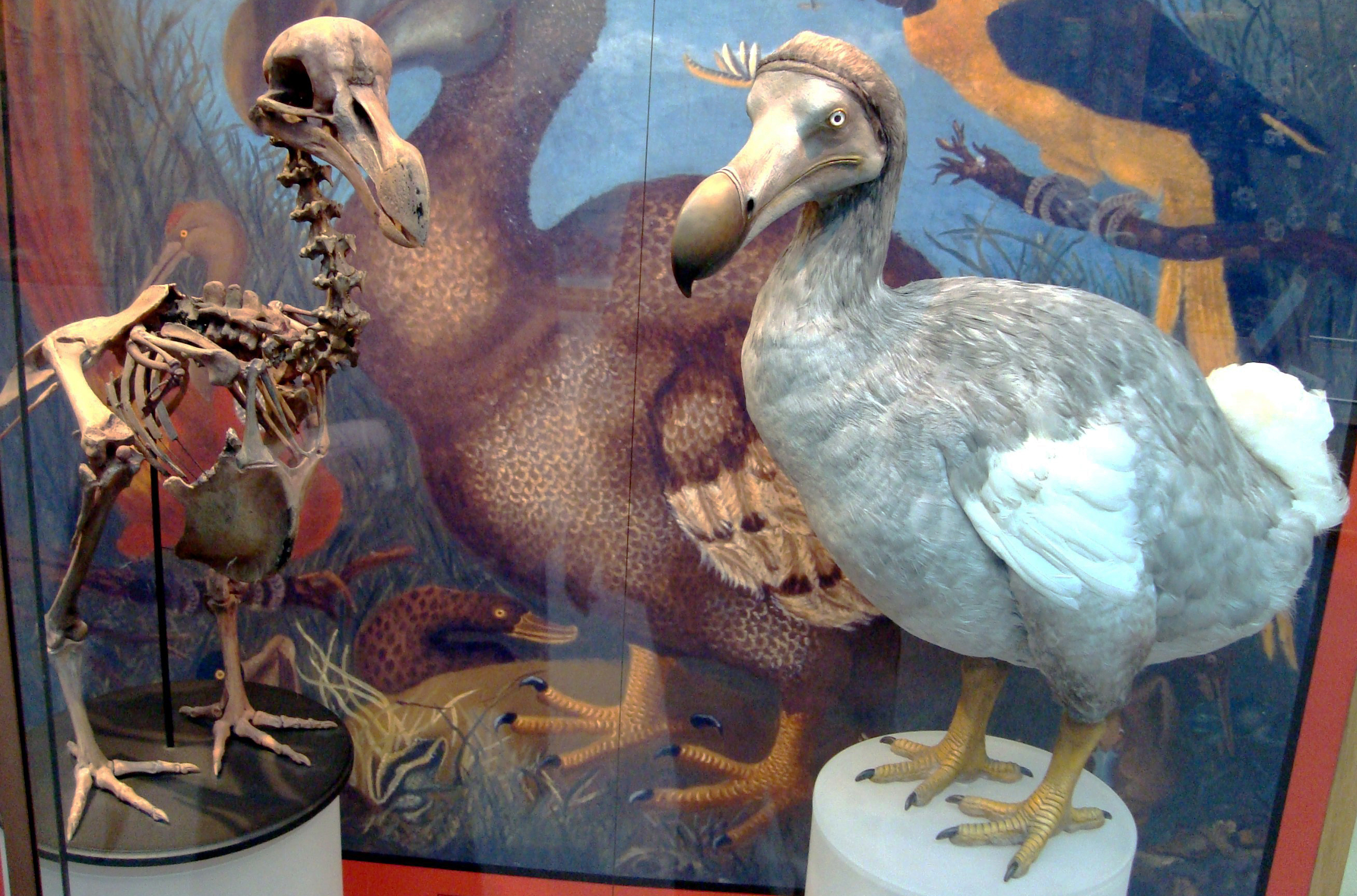 Oxford Museum Of Natural History Dodo