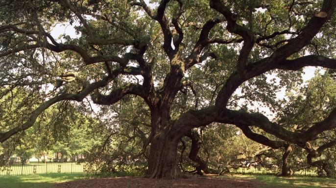 Emancipation Tree. (Credit: Hampton University)