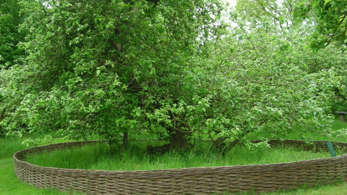Isaac Newton's famous apple tree. (Credit: National Trust/Ann Blackett)