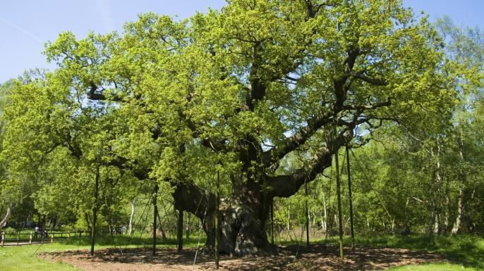 Major Oak. Britain's Oldest Tree. (Credit: ChrisCafferkey/www.istockphoto.com)