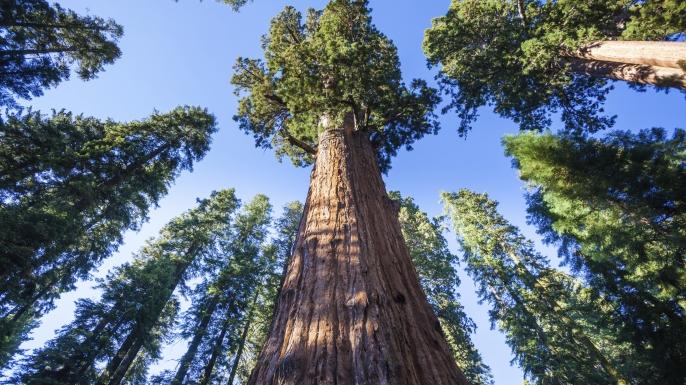 General Sherman Tree in Sequoia National Park. (Credit: andrearoad/www.istockphoto.com)