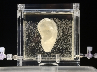 A replica of Vincent van Gogh's famously severed ear, created by artist Diemut Strebe, on display in Germany.