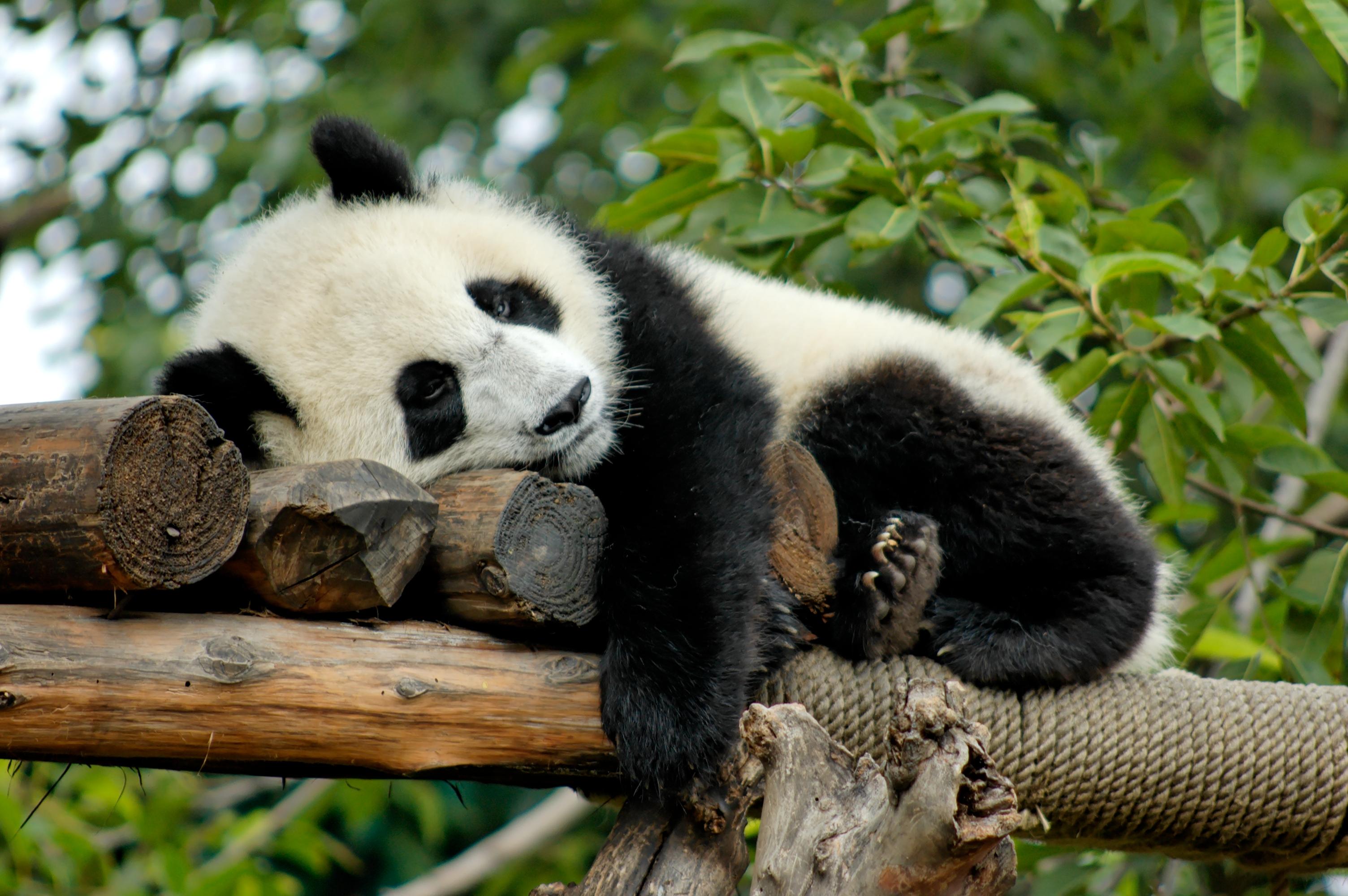 Panda Diplomacy: The World's Cutest Ambassadors - History ...