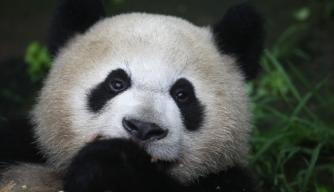 Panda Diplomacy: The World's Cutest Ambassadors