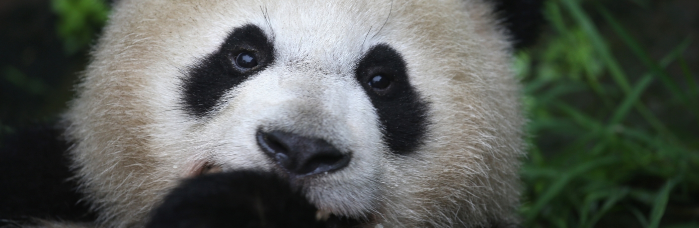 A giant panda eats bamboo at a panda research base in Ya'an, China. (Credit: John Moore/Getty Images)